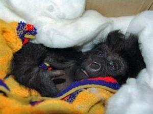 070611-gorillas-congo_big (2)