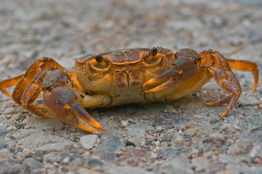 Animals-Crab-01-goog