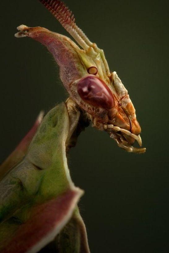 mantis diabolica