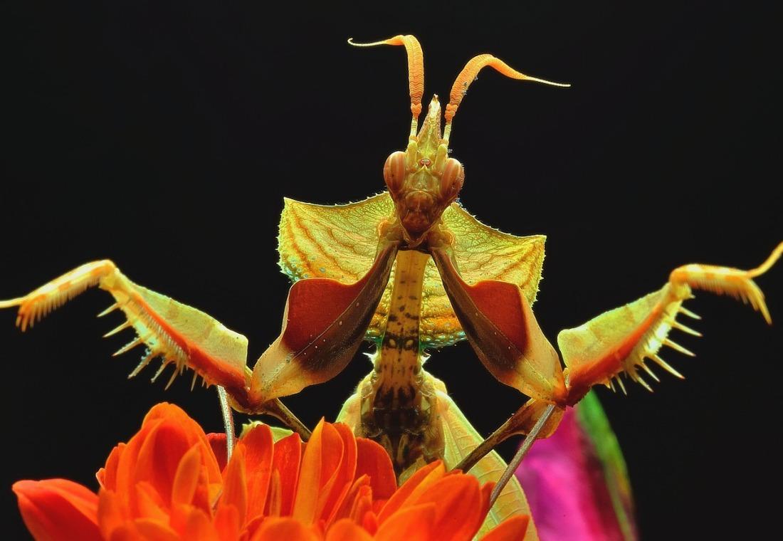 Mantis du diable