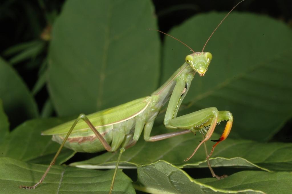 -mantis-religiosa-014_0