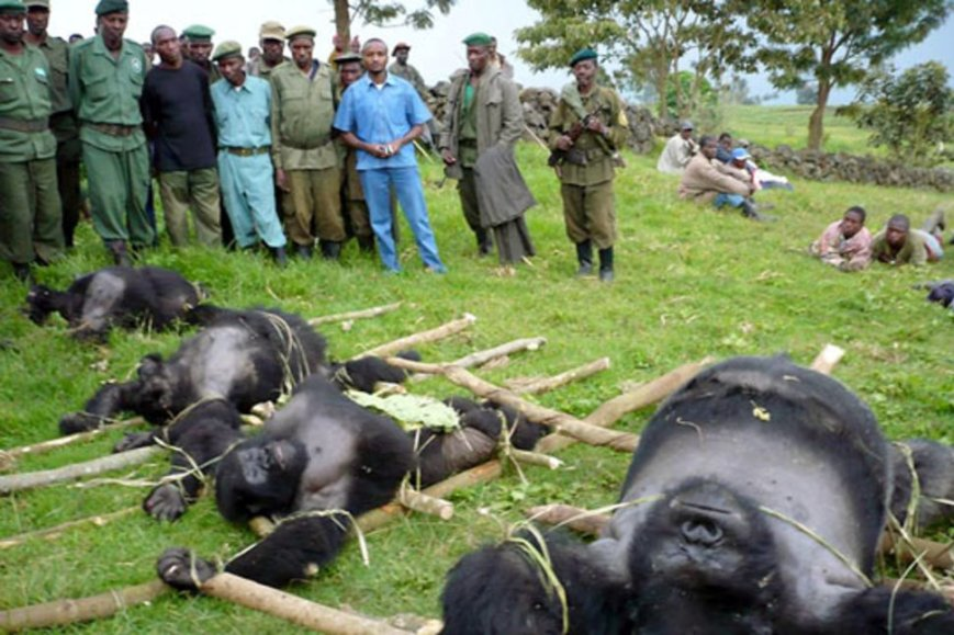 Park rangers carried four dead gorillas out of the jungle on makeshift stretchers.jpg