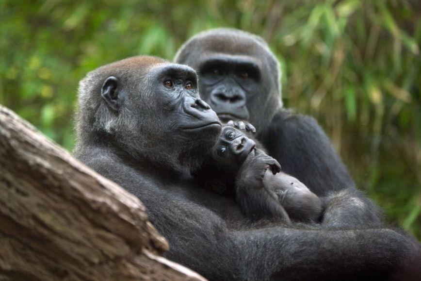 Congo-Gorilla-Forest_54_990x660