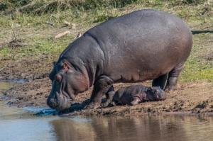 hippo-birth