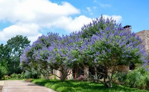 Texas_Lilac_Vitex_Tree_Texas_Lee_Ann_Torrans (2)