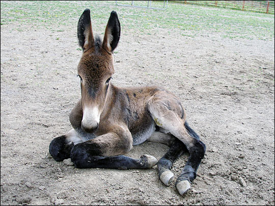 The unnamed john (male) mule, a month after its birth.