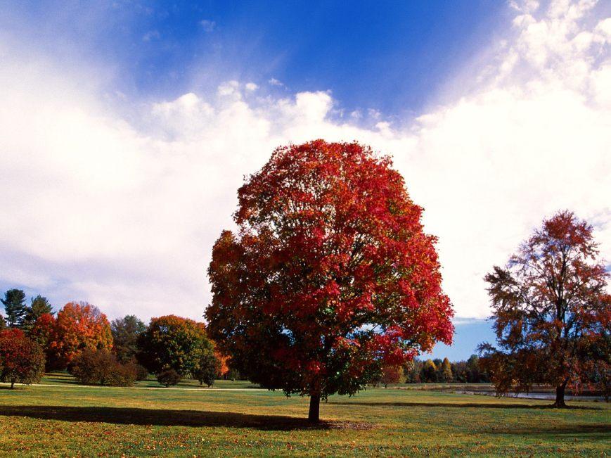 Red Maple Tree, Bernheim Forest Arboretum, Clermont, Kentucky.jpg maple tree ή κόκκινος σφένδαμος