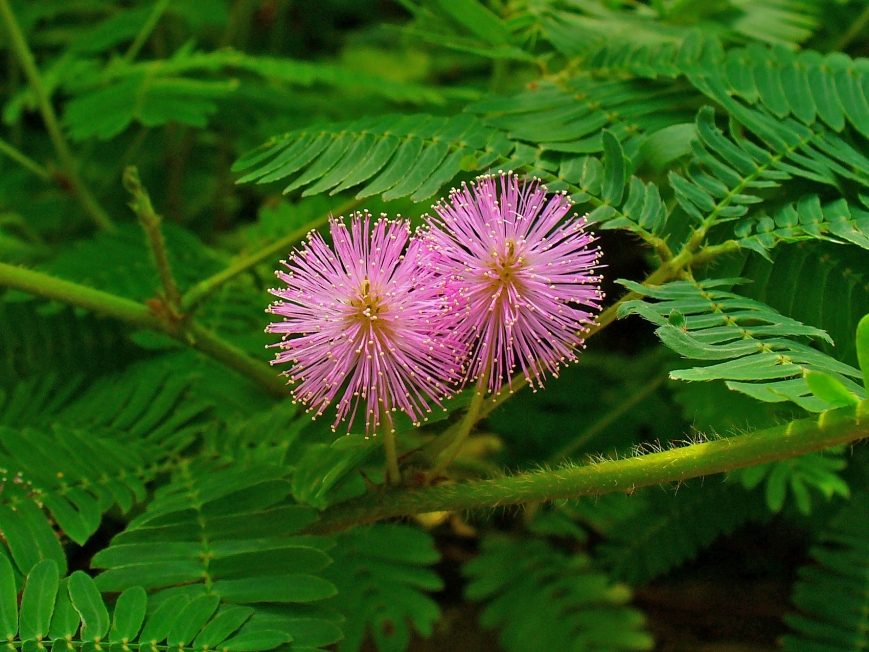mimosa pudica 2