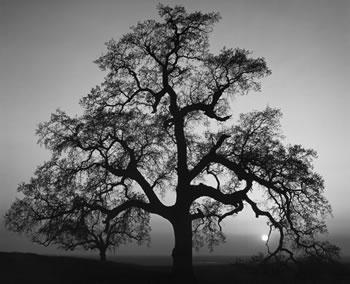 Oak Tree, Sunset City