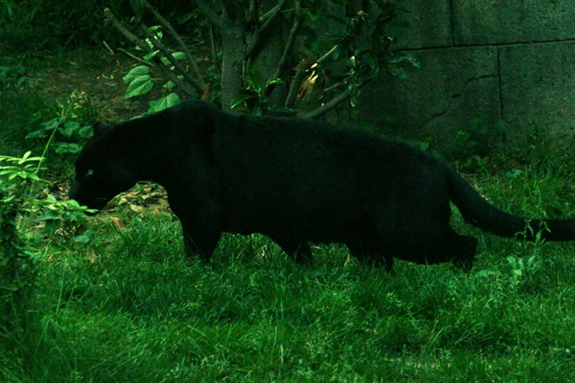 jaguar_black.
