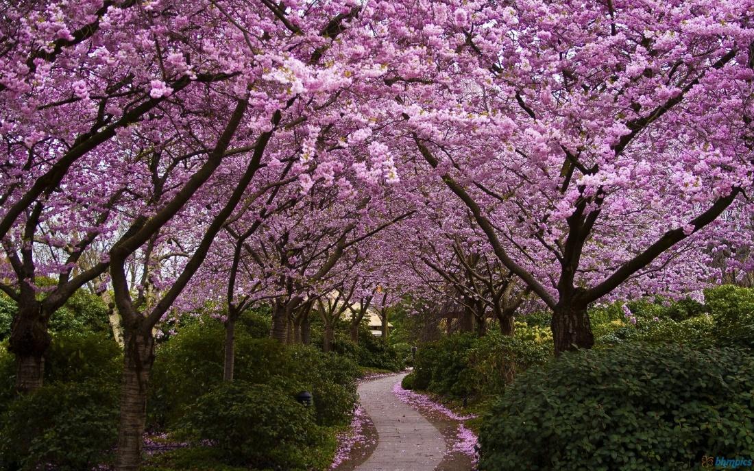 cherry-blossoms-sakura-garden