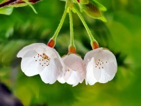 dreamy-white-japanese-cherry-blossom-flower-photo