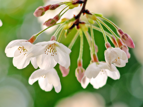flowering-sakura-cherry-blossom-branch-photo