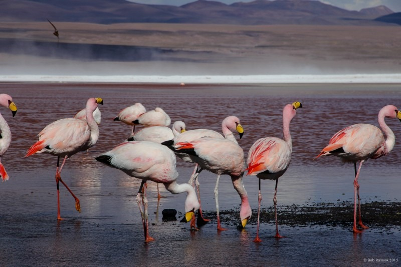 Jamess-flamingos-at-Laguna-Colorada-in-southwest-Bolivia-
