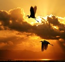 crane_bird_wallpaper_6