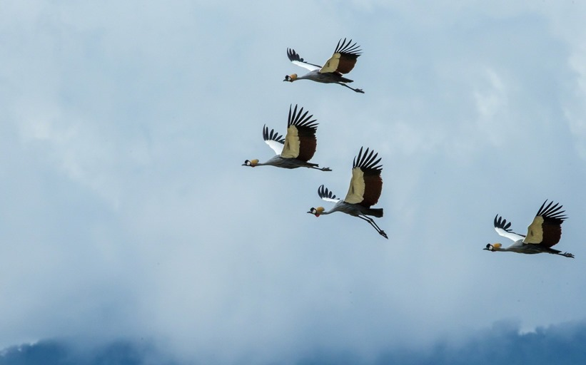 crane_bird_wallpaper_7