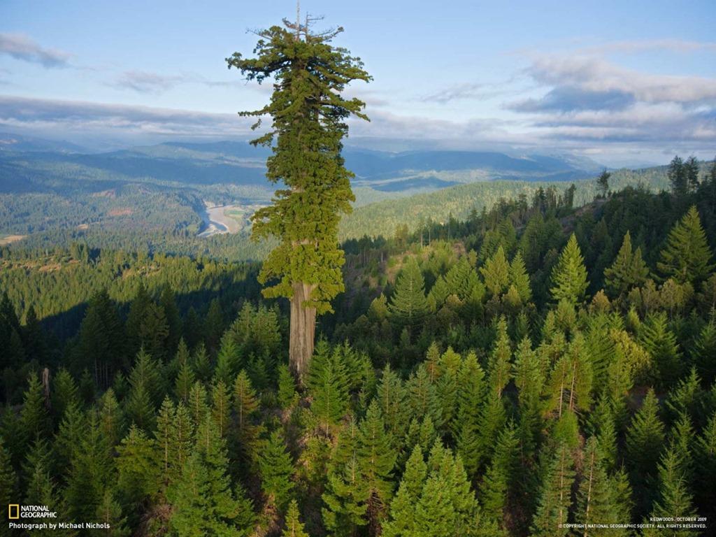 Υπερίων, το ψηλότερο δέντρο στον sequoia coast κόσμο,