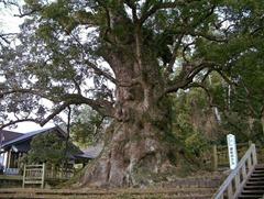 Metasequoia.