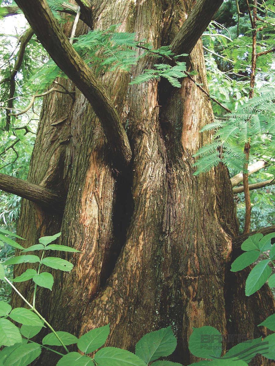 Metasequoia_glyptostroboides_2005_3499