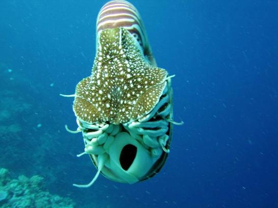 nautilus,nautilus interesting facts,about,chambered nautilus,nautilus habitat map,nautilus pompilius,nautilus diet