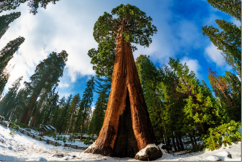 sentinel-tree-giant-forest-museum-snow-sequoia-national-park-copy (1)