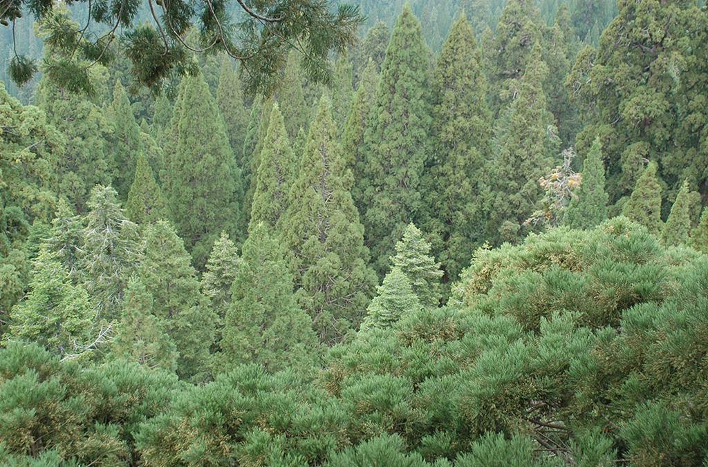 Sequoia_01