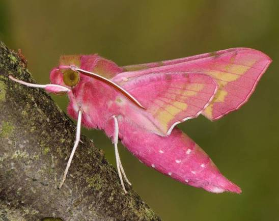elephant-hawk-moth.jMoths and Butterflies of Europe and North Africa