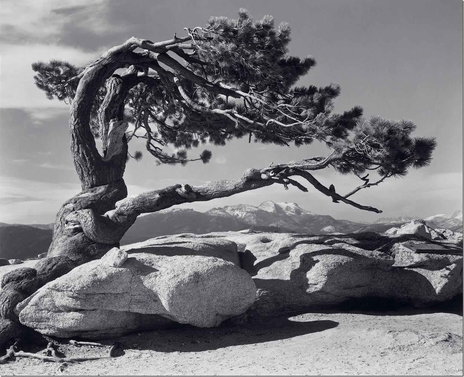 Jeffrey-Pine-Ansel Adams