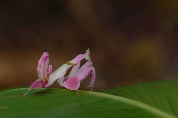 orchid-mantis.jpg.0x545_q70_crop-scale (1)
