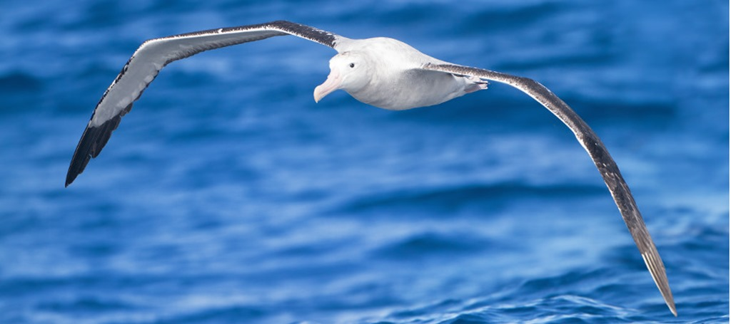 Antarctica-wildlife-albatross