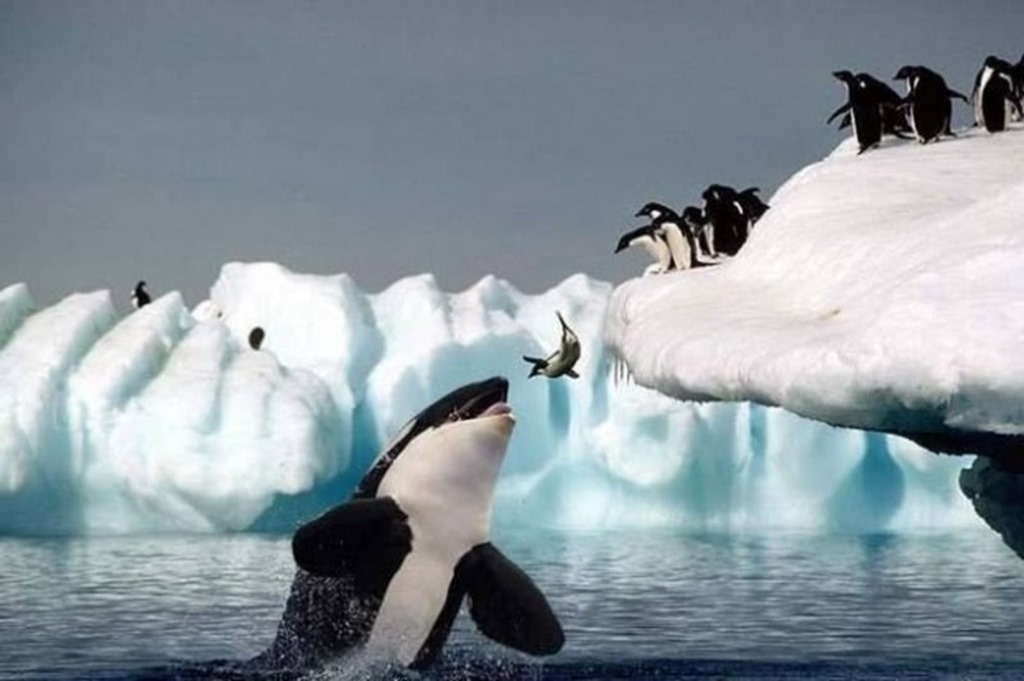 killer whale eating