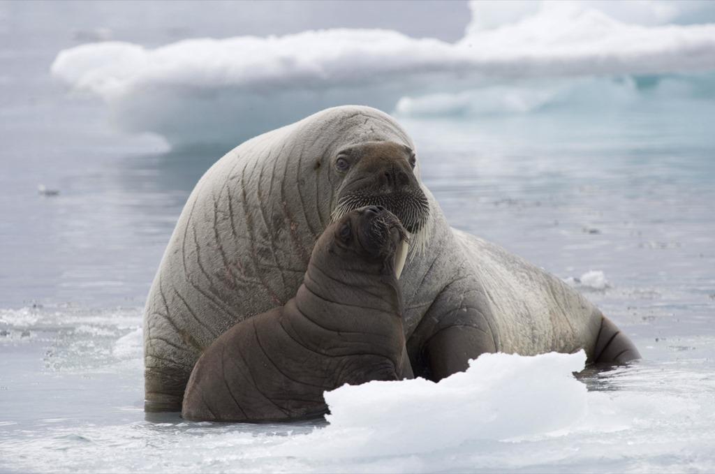 Walrus-Cobburg-Island-Arctic_jpg