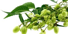 Neem-leaves_berries-Amazing Benefits of the Neem Tree