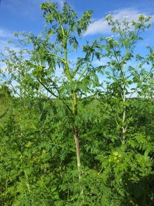κώνειο-το-πιτσιλωτο-είναι-μεγάλο-διετές-φυτό-μέχρι-2-μέτρα-ψηλό-εξαιρετικά-δημητηριώδες.-Στερεά-Ελλάδα_thumb.jpg