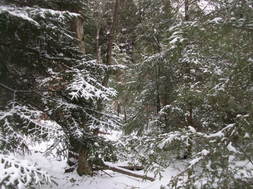 Winter-wonderland-in-a-spruce-and-hemlock-forest1.jpg