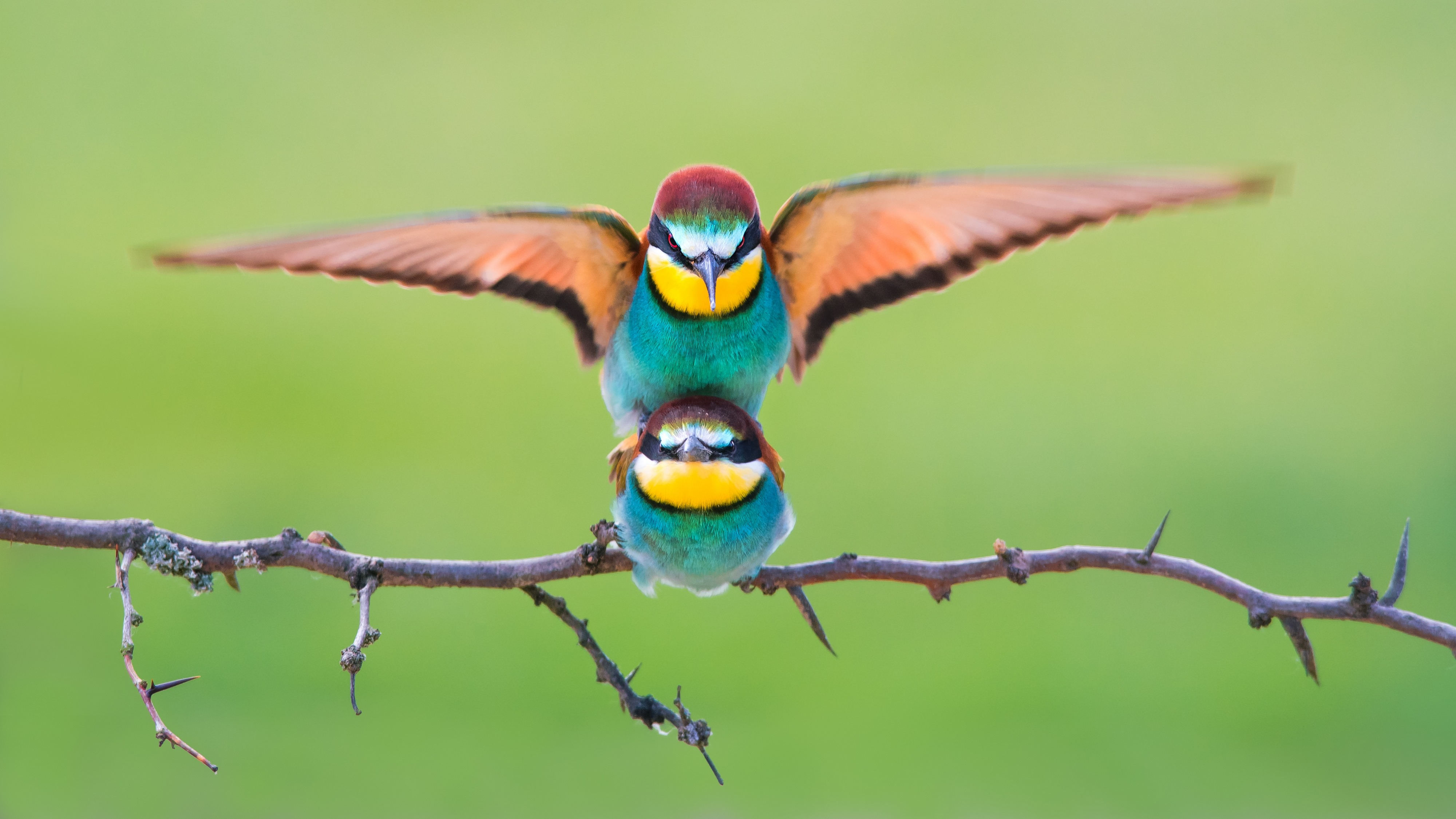 μεγάλο πουλί σόλο τραβεστίελεύθερα pron