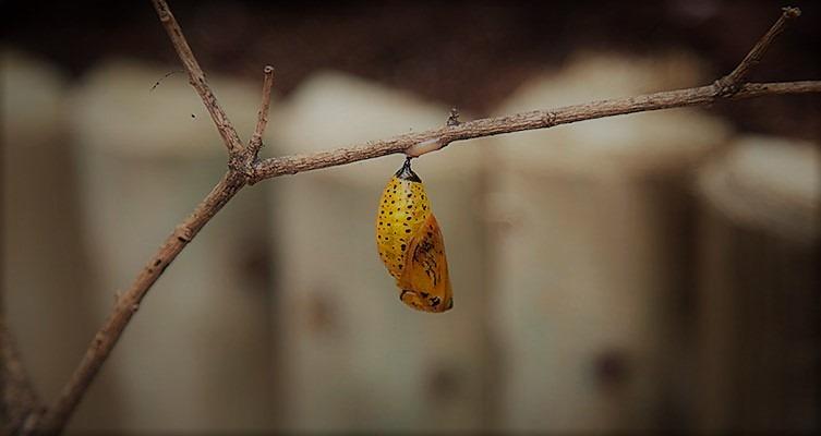sensational-butterflies-pupa-on-tree-two-column (2)