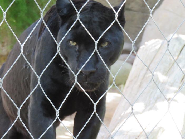 Panther (melanistic jaguar),