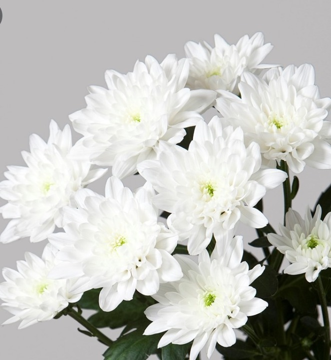 CHRYSANTHEMUM-BALTICA-2.jpg
