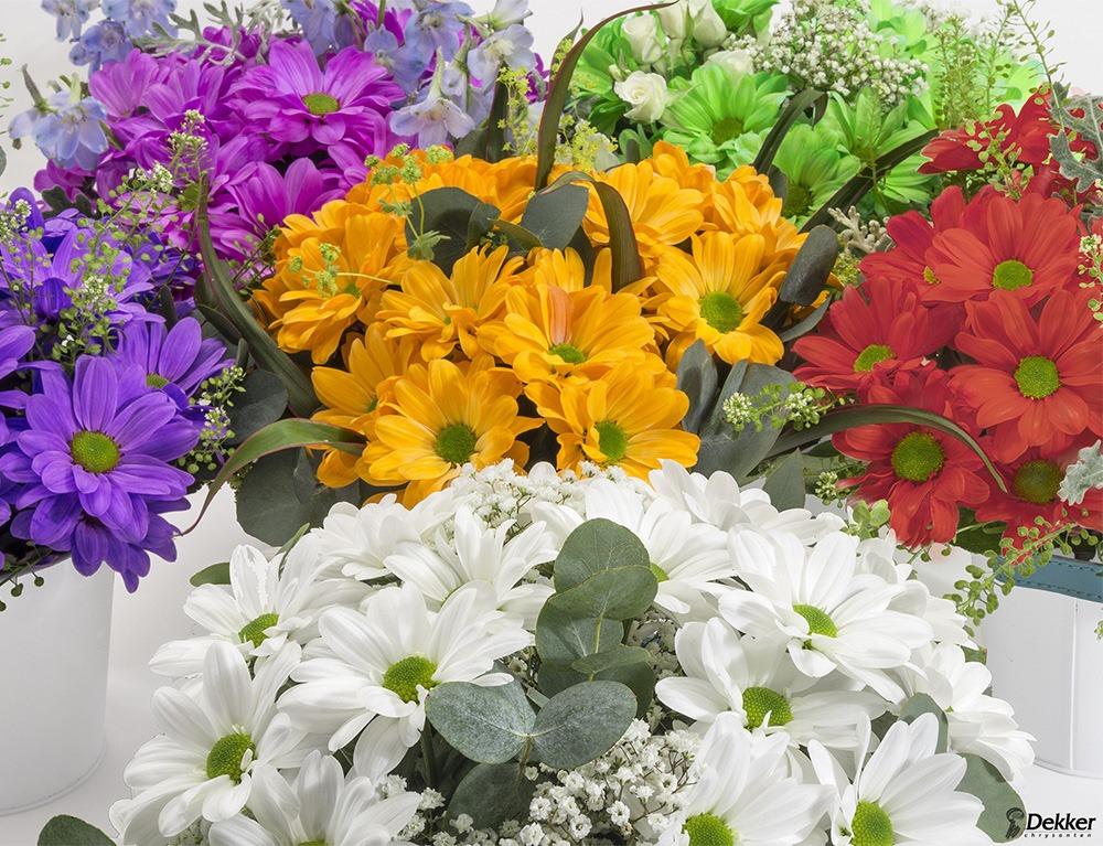 Chrysanthemum-colour-02