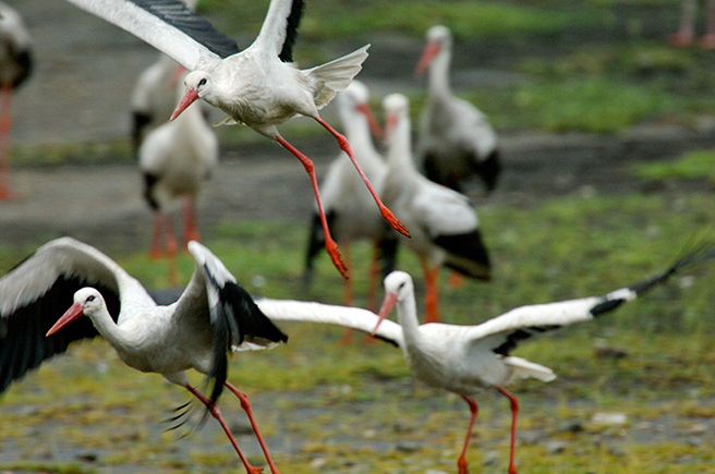 White Stork (Ciconia ciconia)3.jpg