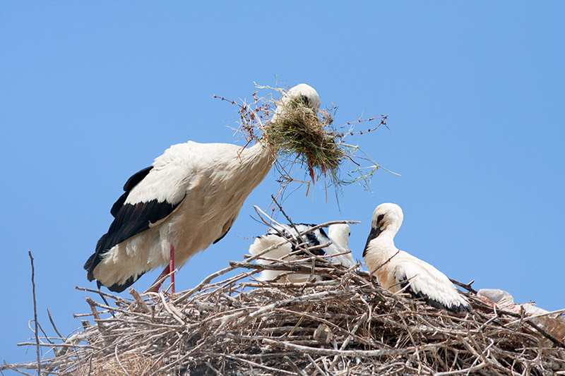 White-stork-with-material-at-nest.jpg